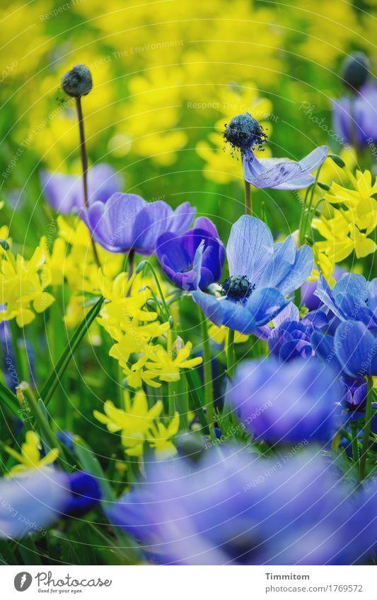 Doch auch die Farben sehen. Umwelt Natur Pflanze Blume Blatt Blüte Blühend ästhetisch natürlich blau gelb grün Farbfoto Außenaufnahme Menschenleer Tag
