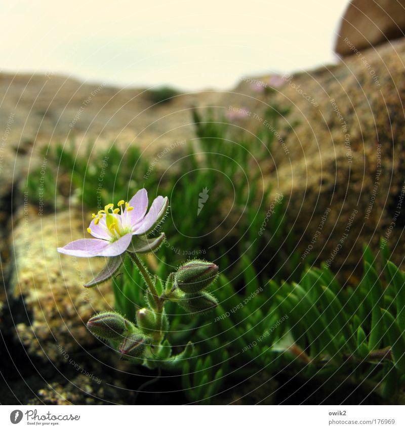Bretonisches Felsenblümchen Umwelt Natur Landschaft Pflanze Erde Horizont Schönes Wetter Blume Moos Blüte Grünpflanze Wildpflanze exotisch Flechten Küste Stein