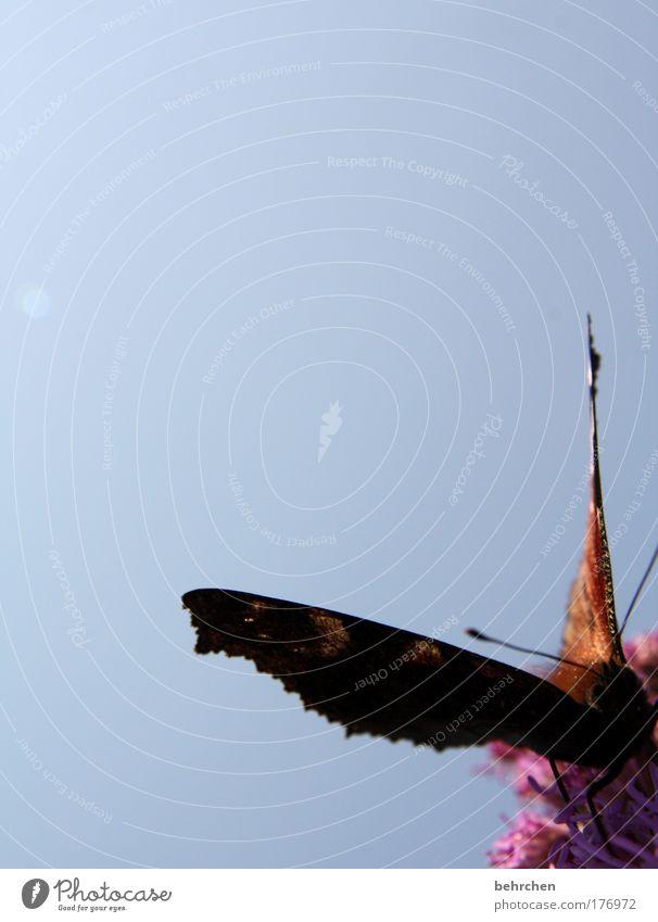 jeder sollte eins haben Natur schön Himmel Sonne Blume Sommer Ernährung Tier Wiese Blüte fliegen groß nah Flügel beobachten Schmetterling
