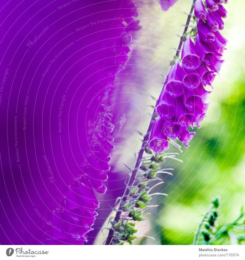 Giftpflanze 2007 Natur rot Pflanze Sommer Umwelt Blüte rosa Klima außergewöhnlich Schönes Wetter violett exotisch Aggression Orchidee Blume Wildpflanze
