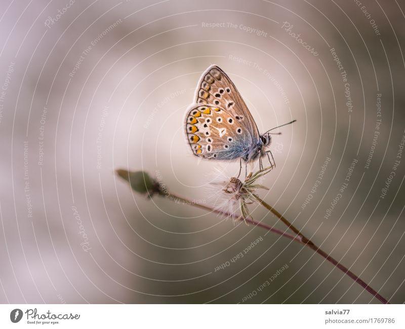 ***500*** Umwelt Natur Pflanze Sommer Nebel Stengel Wildtier Schmetterling Flügel Insekt Bläulinge 1 Tier krabbeln warten ästhetisch Coolness blau braun grau
