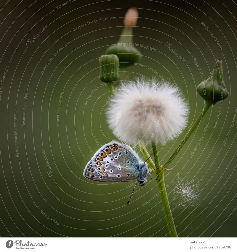 der Herbst naht Umwelt Natur Pflanze Tier Sommer Blume Blüte Wildpflanze Distel Samen Wildtier Schmetterling Flügel Fühler Bläulinge Insekt 1 niedlich weich