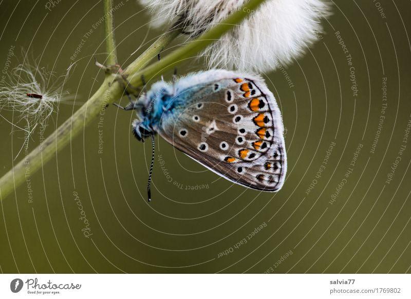 Kopfüber Umwelt Natur Pflanze Tier Sommer Blüte Wildpflanze Samen Stengel Wildtier Schmetterling Flügel Insekt Bläulinge 1 verblüht ästhetisch natürlich blau