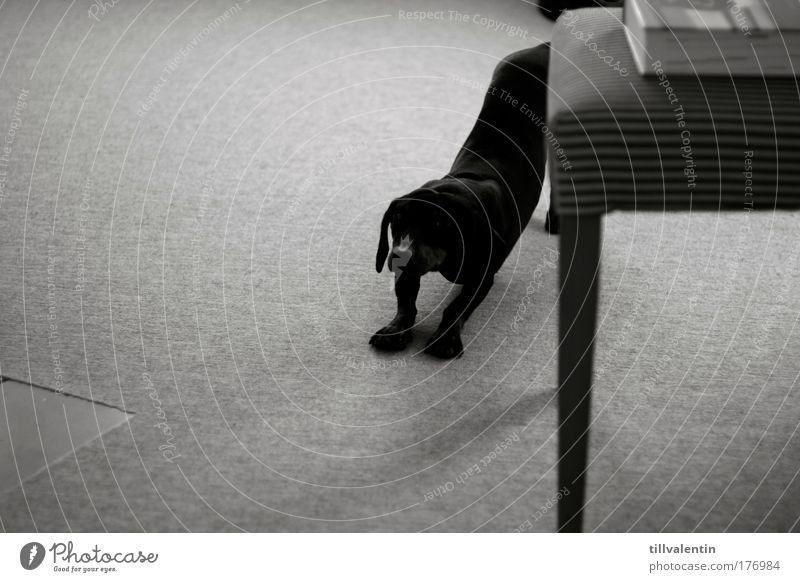 Guten Morgen! Hund Tier schwarz elegant schlafen Müdigkeit Haustier strecken aufstehen Dackel