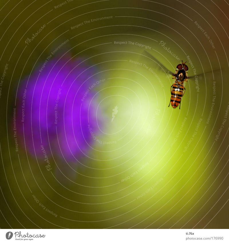 """Oscar die """"Schwebfliege"""" Farbfoto Außenaufnahme Makroaufnahme Menschenleer Textfreiraum oben Textfreiraum unten Tag Licht Schatten Kontrast"""