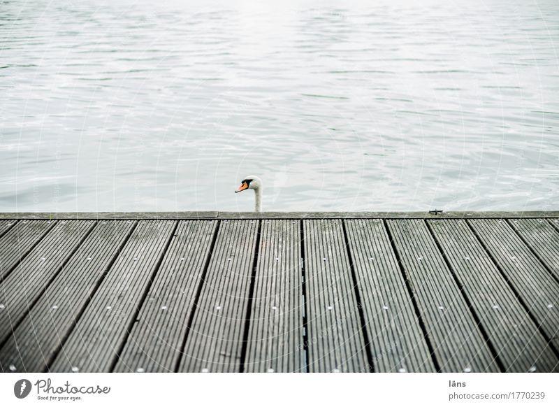 ich sag nix Schwan Steg Wasser Holz Anlegestelle liniert Linie Kopf Vogel Einsamkeit einzeln