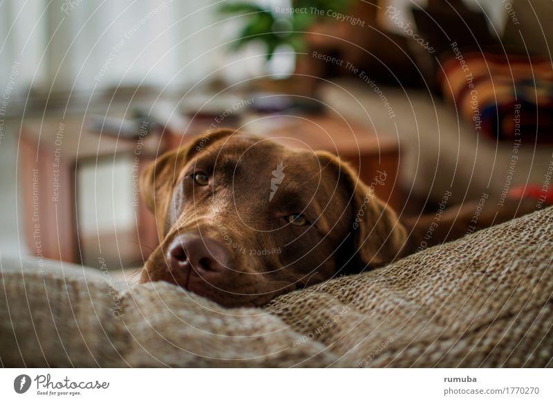 Labrador Dayna Häusliches Leben Wohnung Haustier Hund 1 Tier Erholung liegen schön braun Vertrauen Sicherheit Geborgenheit Zufriedenheit Zusammenhalt Sofa