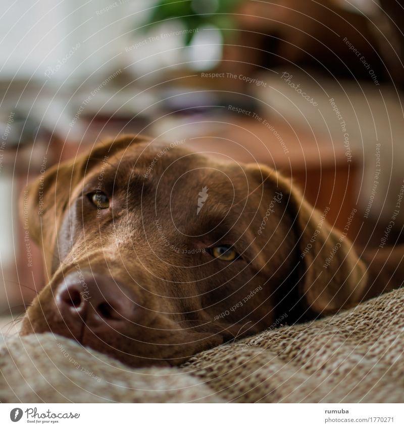 Labrador, schoko-farben, Tierportrait Wohnung Haustier Hund Tiergesicht 1 liegen Blick Freundlichkeit schön braun Zufriedenheit Vertrauen Schutz Geborgenheit