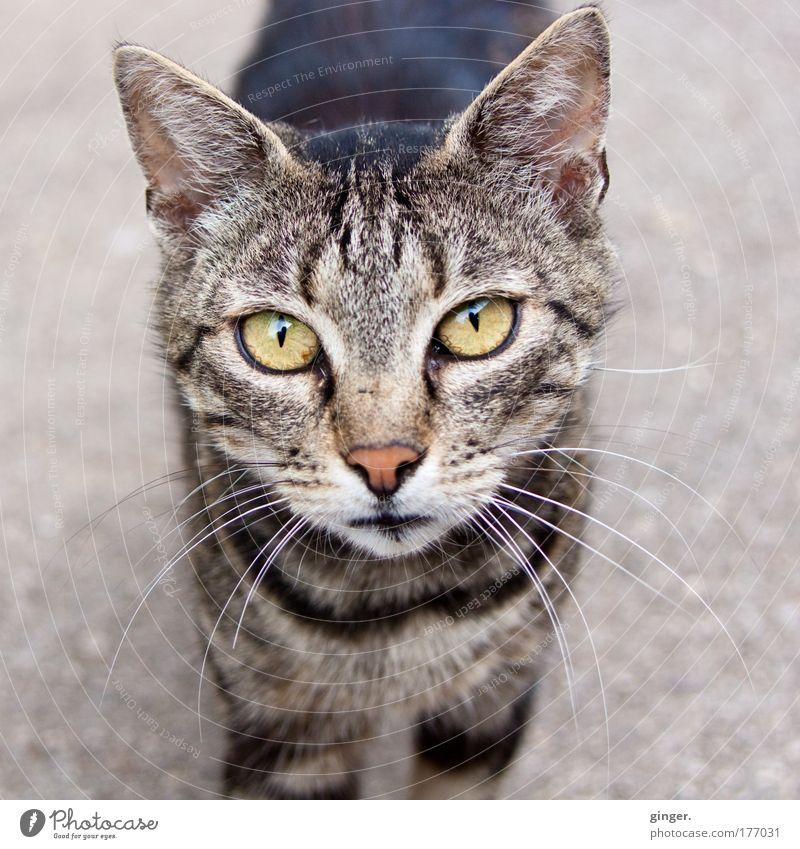 Hast du Leckerchen für mich? Tier Haustier Katze Tiergesicht 1 Blick authentisch Neugier niedlich Katzenauge Miau gestreift freilebend Herumtreiben Straßenkatze