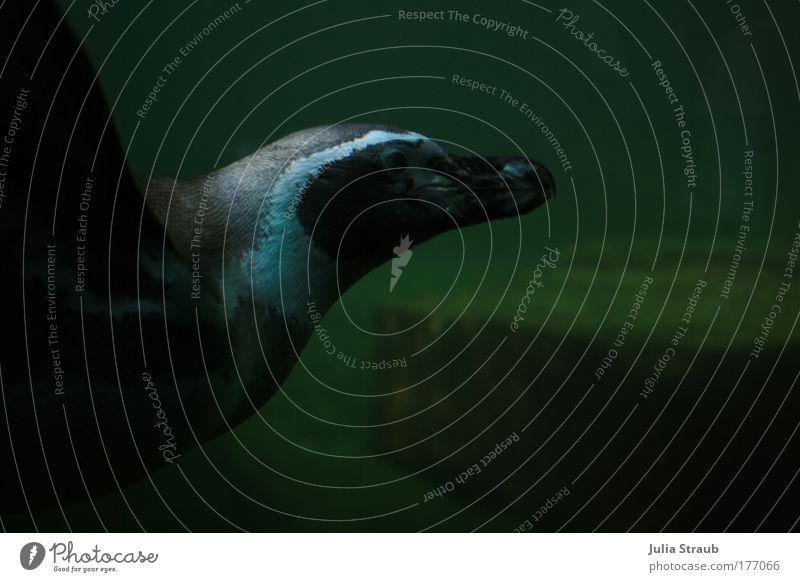 Ping Wasser weiß grün Sommer Tier schwarz Schwimmen & Baden elegant Coolness Flügel Tiergesicht tauchen Zoo Leidenschaft Aquarium Unterwasseraufnahme