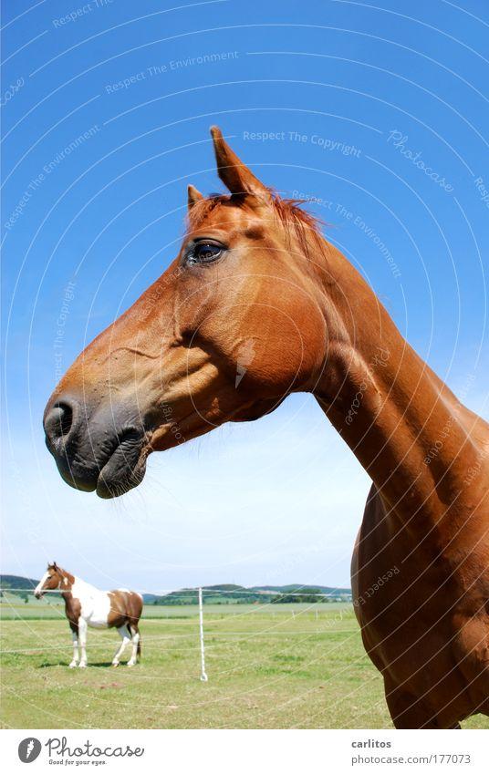 na Kleine ...... Weitwinkel Blick in die Kamera Froschperspektive harmonisch Reiten Freiheit Reitsport Pferd Fell Tier beobachten ästhetisch elegant