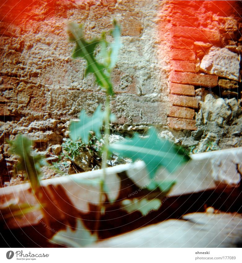 Löwenzahn Farbfoto mehrfarbig Außenaufnahme Experiment Holga Menschenleer Schatten Kontrast Unschärfe Umwelt Natur Sommer Pflanze Blume Mauer Wand grün rot