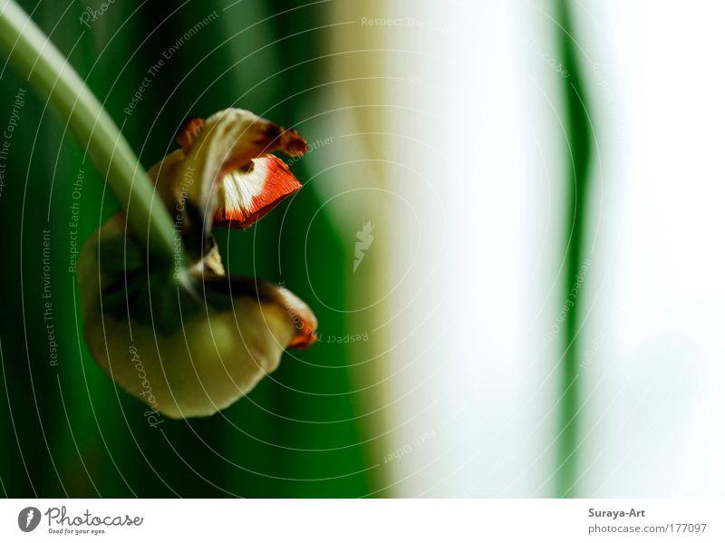 Tulip O Blume grün Pflanze Freude Blüte Kunst modern Häusliches Leben einzigartig außergewöhnlich Blühend entdecken hängen Tulpe Sinnesorgane Überraschung