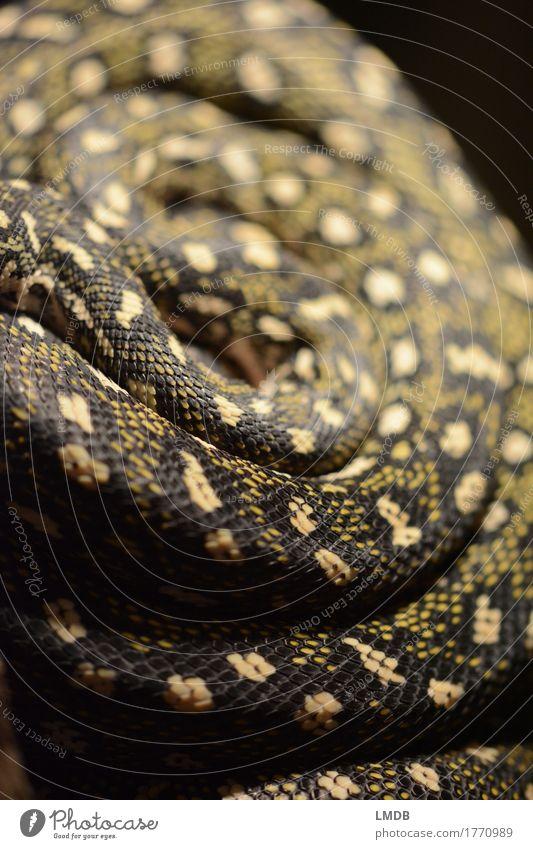 Schlangen-Schnecke Tier schwarz gelb Angst Wildtier gold gefährlich tierisch exotisch drehen Spirale Gift Schuppen gerollt Schlangenhaut