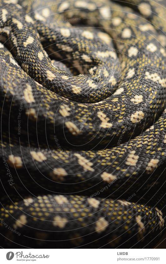 Schlangen-Schlaufe Tier schwarz gelb Angst Wildtier gold exotisch Spirale Schuppen Terrarium gedreht Schlangenlinie Schlangenleder Schlangenhaut