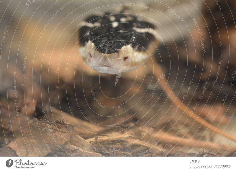 Schlangen-Schauer Tier Wildtier 1 schwarz Knopfauge Neugier beobachten Schuppen Terrarium Angst Blick exotisch Farbfoto Nahaufnahme Textfreiraum unten