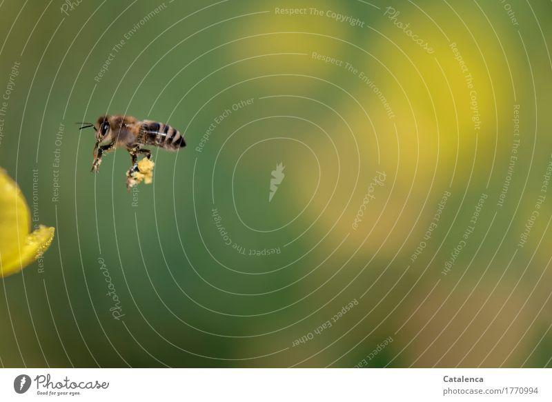 Lastenträgerin Sommer grün Tier gelb Garten fliegen braun Arbeit & Erwerbstätigkeit Erfolg Blühend Leidenschaft Duft Biene Arbeitsplatz anstrengen tragen
