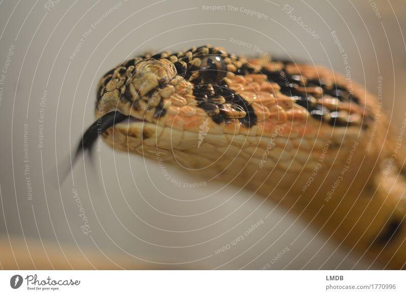 Schlangen-Zungeln Tier schwarz Auge orange Kopf Angst Wildtier beobachten Spannung Maul Schuppen Zischen züngeln