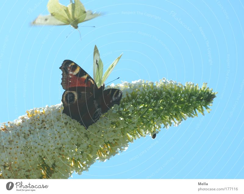 Tummelplatz Umwelt Natur Pflanze Tier Luft Wolkenloser Himmel Frühling Sommer Schönes Wetter Sträucher Blüte Sommerflieder Park Wildtier Schmetterling