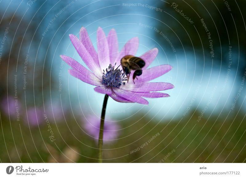 Landeanflug Farbfoto Außenaufnahme Nahaufnahme Tag Bioprodukte Natur Pflanze Tier Frühling Blüte Nutztier Biene 1 fliegen blau grün violett Ernährung