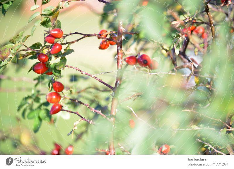 zarter Herbstbeginn Frucht Natur Pflanze Klima Schönes Wetter Sträucher Blatt Wildpflanze Hagebutten Feld hell grün rot Stimmung Farbe Umwelt