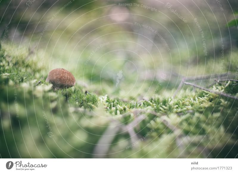 Pilz 3 Umwelt Natur Landschaft Pflanze Moos Wald braun grün Bovisten Moosteppich Waldboden Farbfoto Außenaufnahme Nahaufnahme Detailaufnahme Textfreiraum rechts