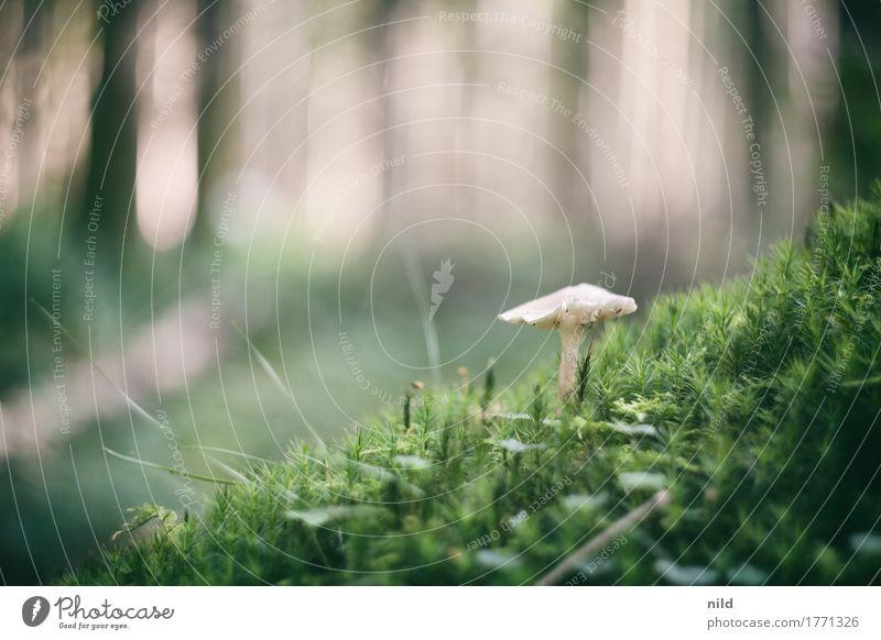 Pilz 2 Umwelt Natur Landschaft Pflanze Schönes Wetter Wald Wachstum braun grün schwammerlsuchen Pilzsucher Moos Waldboden Farbfoto Außenaufnahme Nahaufnahme