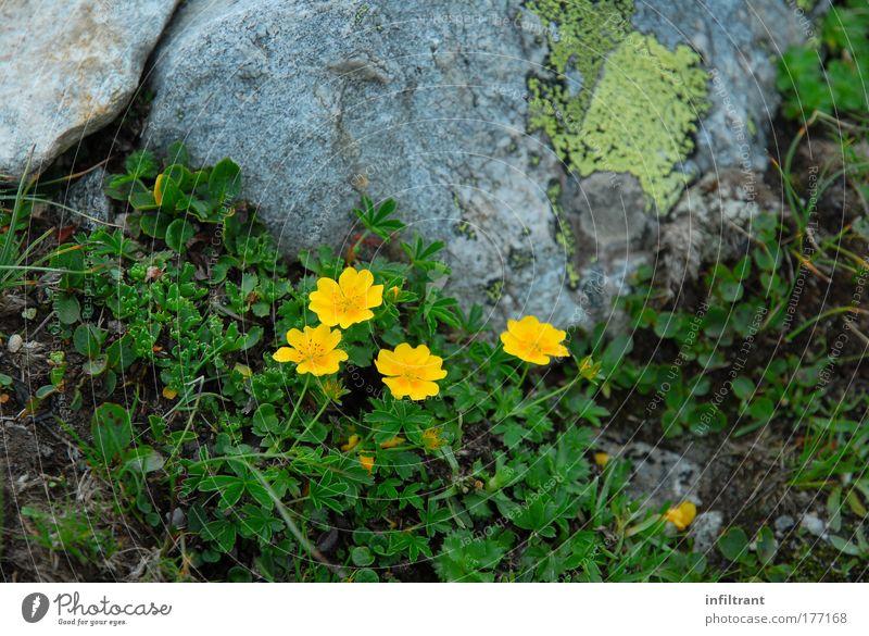 Blümchen Natur schön Blume grün Pflanze Sommer gelb Farbe Erholung Blüte Glück grau Landschaft Umwelt Felsen natürlich