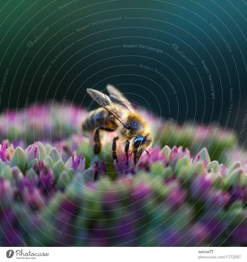 Emsig Natur Pflanze Sommer Blume Tier Umwelt Blüte natürlich Gesundheit Wildtier Flügel Blühend Insekt Duft Biene Sammlung