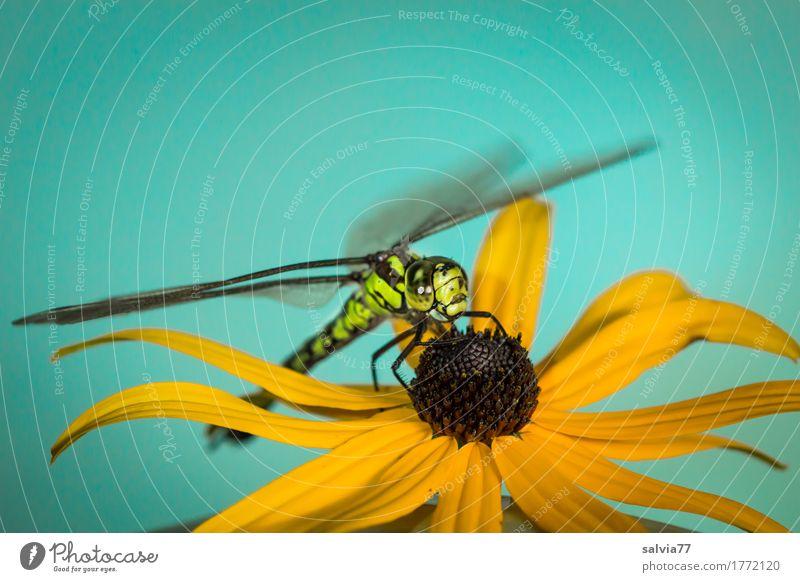 Flugpause Natur Pflanze blau Sommer grün Tier gelb Blüte Wildtier ästhetisch Flügel beobachten Schönes Wetter Pause Insekt Duft