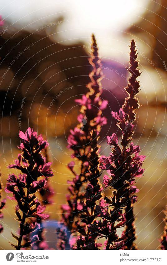 Blutweiderich (Lythrum salicaria) Farbfoto mehrfarbig Nahaufnahme Menschenleer Abend Licht Schatten Silhouette Reflexion & Spiegelung Lichterscheinung
