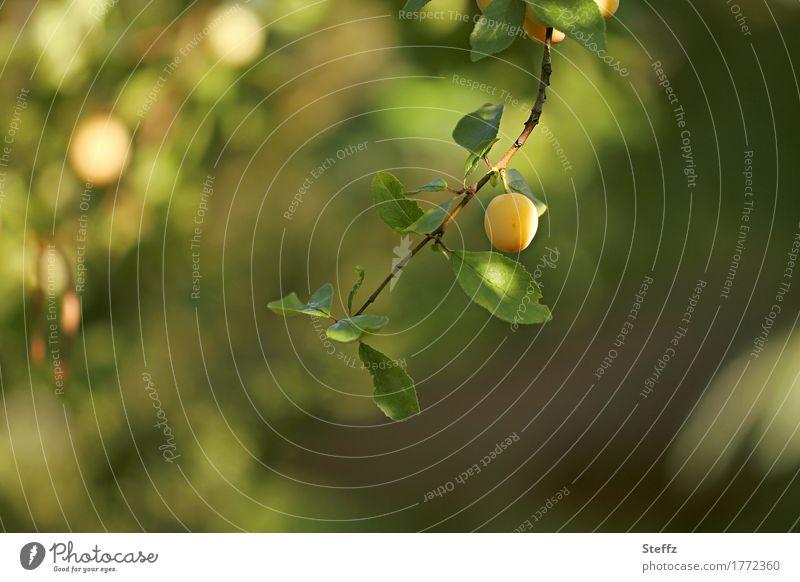 eine Mirabelle auf dem grünen Zweig Pflaume Obst Frucht Mirabellenbaum gelbe Pflaumen Pflaumenbaum Gartenobst Obstbaum Vorfreude Bio Bioobst organisch