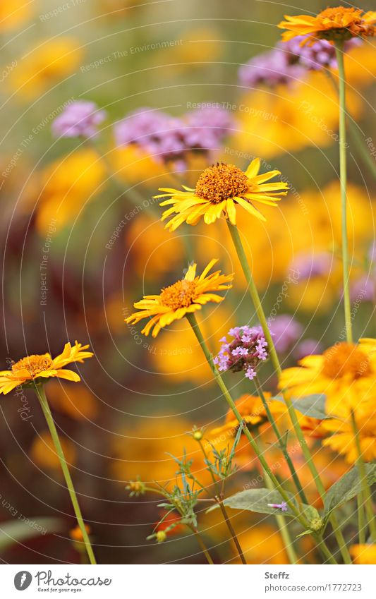 Im Garten an einem warmen Sommertag Sommerblumen blühende Sommerblumen Sommerblumenbeet Blüten Blumen Sommergefühl Sommergarten Wärme erblühen natürlich gelb