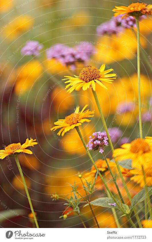 Sommerblumen im Sommergarten Gelbe Astern Verbena blühende Sommerblumen Sommerblumenbeet Sommerwärme Sommerfarben Orangefarben Blüten Blumen Sommergefühl