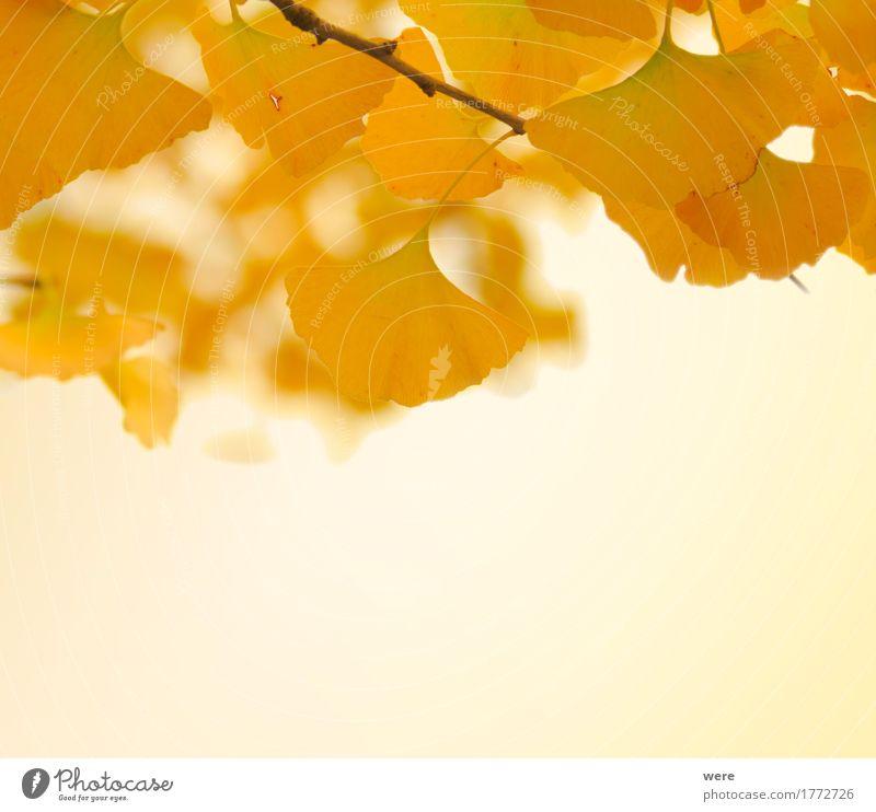 Herbstliche Gingkoblätter Natur Pflanze Baum Blatt ästhetisch Freundlichkeit glänzend hell gelb gold Biloba Flora und Fauna Ginkgo Ginkgoaceae Ginkgoales