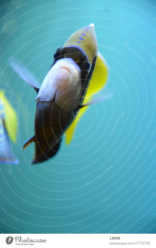 Schwimm schwumm.... Umwelt Wasser Korallenriff Tier Fisch Schuppen Aquarium 2 gelb türkis Schwimmen & Baden tropisch Neigung Flosse Doktorfisch Farbfoto