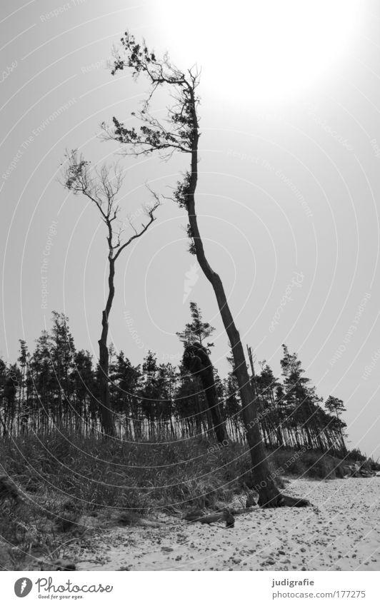 Weststrand Schwarzweißfoto Außenaufnahme Tag Gegenlicht Umwelt Natur Landschaft Pflanze Baum Küste Strand Ostsee Meer dunkel Stimmung ruhig Windflüchter Wald