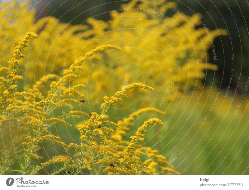 Klangfarbe | es summt und brummt... Umwelt Natur Pflanze Sommer Schönes Wetter Blume Blüte Kanadische Goldrute Garten Blühend stehen Wachstum Duft schön