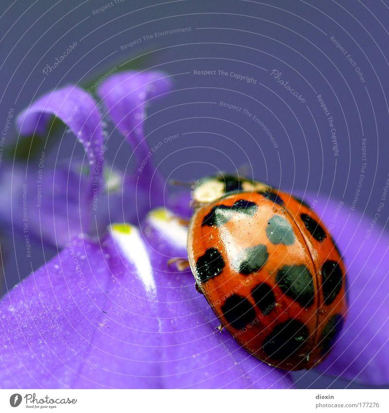 *200* lady bird´s purple dream Natur Pflanze rot schwarz Tier Blüte Glück Park Blume glänzend klein Umwelt sitzen violett Flügel Insekt