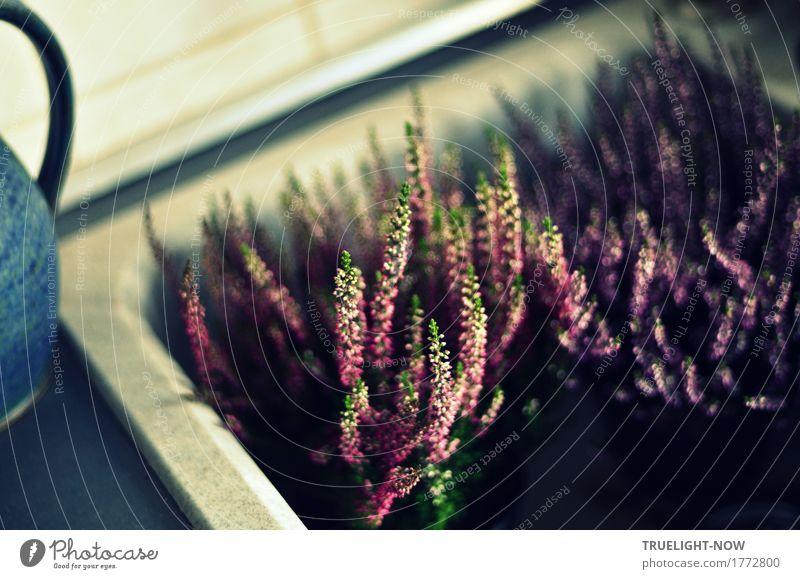 Heidekraut vor dem Einpflanzen Lifestyle Freude Glück Freizeit & Hobby gärtnern Häusliches Leben Garten Dekoration & Verzierung Pflanze Sträucher Blatt Blüte