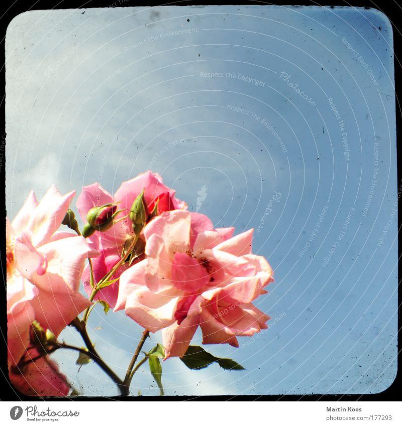 dorn.röschen schön Himmel Blume Pflanze Farbe Stil Blüte Glück rosa elegant Rose ästhetisch Wachstum retro Blühend Leidenschaft