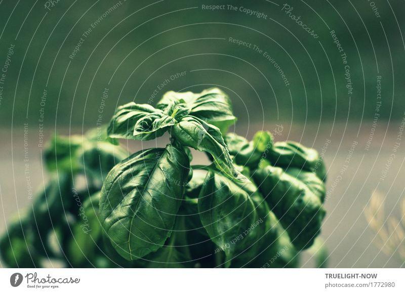 Trend-Kraut Natur Pflanze Sommer grün Blatt Frühling Herbst natürlich Gesundheit Garten Lebensmittel grau Wachstum Ernährung frisch genießen