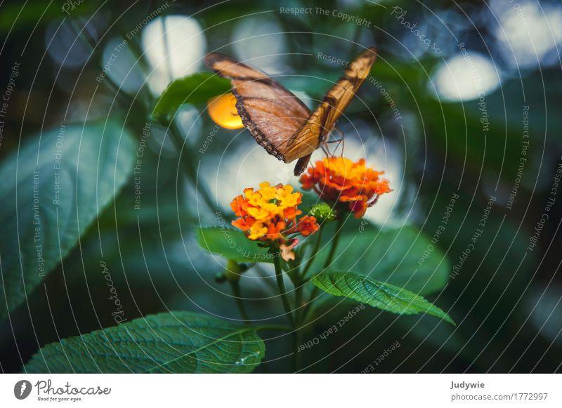 Wandelröschenfalter Umwelt Natur Sommer Pflanze Blume Blüte exotisch Garten Park Tier Schmetterling Insekt Falter Blühend Duft entdecken fliegen schön