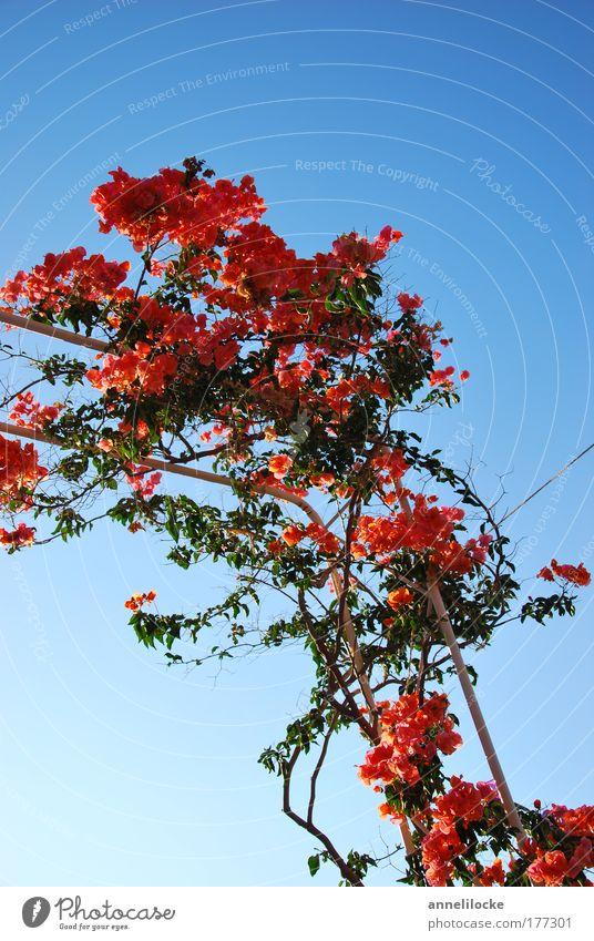Bouganville Farbfoto Außenaufnahme Textfreiraum oben Hintergrund neutral Morgen Tag Sonnenlicht Natur Pflanze Himmel Wolkenloser Himmel Sommer Schönes Wetter