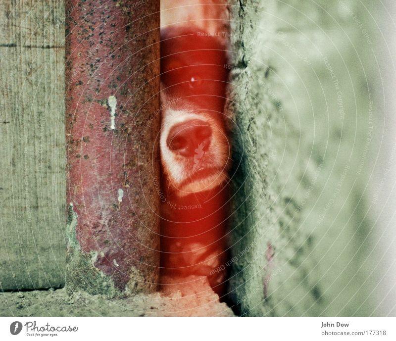 Der Hund sieht rot! rot Tier Wand Hund Mauer Fassade Tiergesicht beobachten Bauernhof Sehnsucht Neugier niedlich Wachsamkeit Pfote Haustier Hinterhof