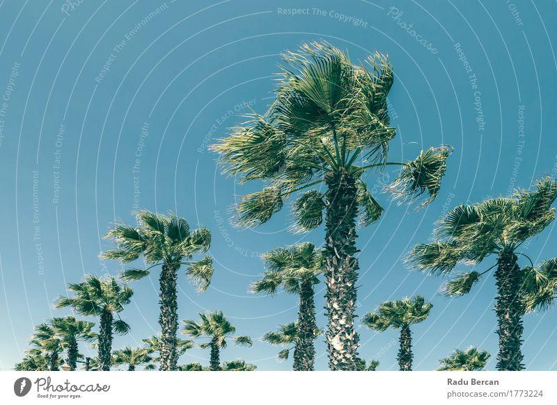 Grüne Palmen auf klarem blauem Himmel Natur Ferien & Urlaub & Reisen Pflanze Farbe Sommer grün Sonne Baum Landschaft Blatt Strand Umwelt natürlich Bewegung