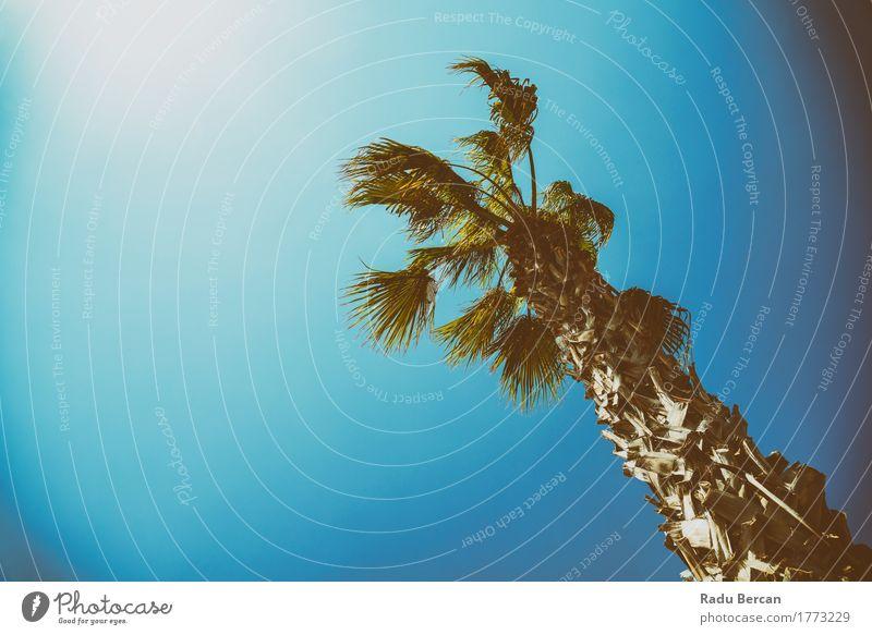 Grüne Palme auf klarem blauem Himmel exotisch Ferien & Urlaub & Reisen Sommer Sonne Strand Insel Umwelt Natur Landschaft Pflanze Wolkenloser Himmel Wind Baum