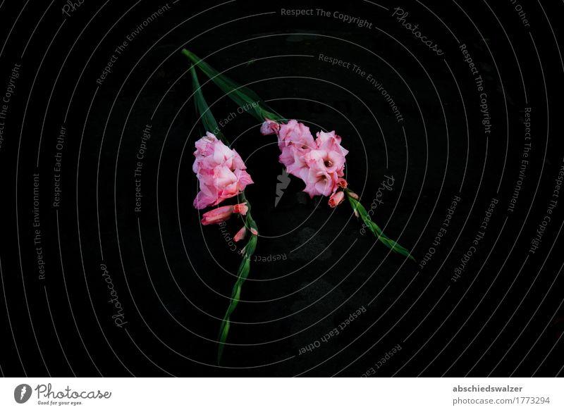 Flowers on the Grave Blume Blüte Gladiolen Grabstein Stein dunkel einfach kalt schön grün rosa schwarz ruhig Traurigkeit Trauer Tod Einsamkeit Ende