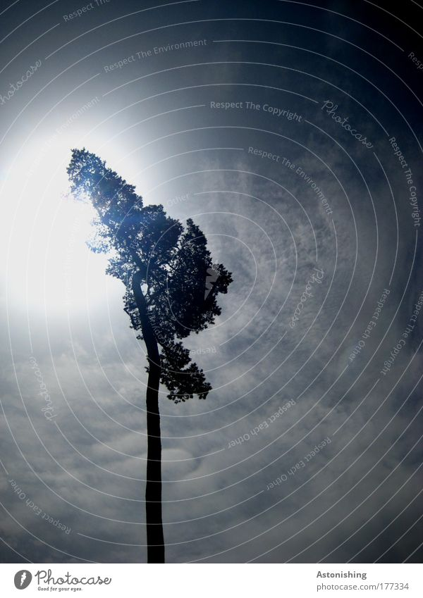 der Sonne entgegen Umwelt Natur Himmel Wolken Sonnenlicht Sommer Wetter Schönes Wetter Pflanze Baum leuchten dunkel hell hoch blau schwarz weiß Farbfoto