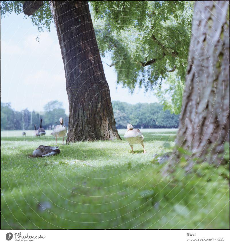 Gans entspannt Farbfoto Gedeckte Farben Außenaufnahme Tag Schwache Tiefenschärfe Froschperspektive Umwelt Natur Baum Gras Park Wiese Waldlichtung Tier Wildgans